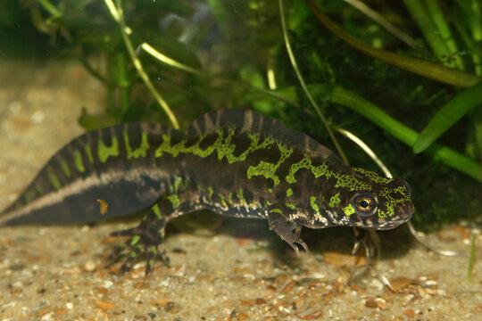 Closeup of an aquatic French marbled newt , Triturus marmoratus