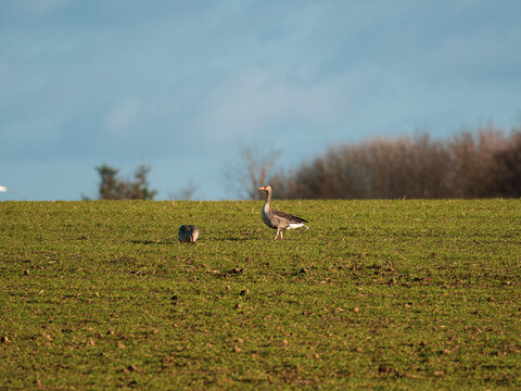 on the meadow are 2 wild geese in springtime