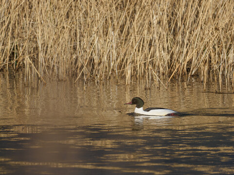 on the lake swims a black and white goosander (Mergus merganser)