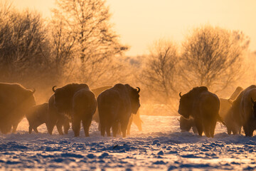 Herd of european bisons on field