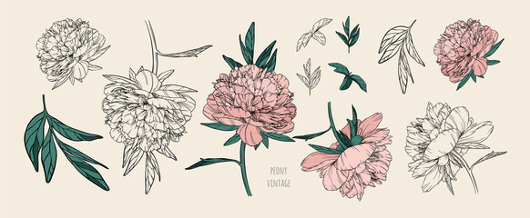 Fototapeta Set of vector vintage peonies with dark strokes on a brown background. Soft pink and black and white flowers. Imitation of a hand drawing on old craft paper. Elements for packaging and banners design. obraz