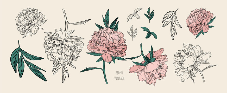Set of vector vintage peonies with dark strokes on a brown background. Soft pink and black and white flowers. Imitation of a hand drawing on old craft paper. Elements for packaging and banners design.