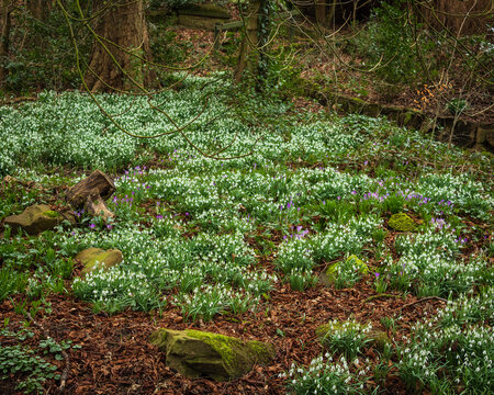 Snowdrops are hardy plants that come into bloom towards the end of winter and signal that Spring is just around the corner
