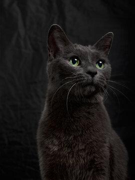 Studio portrait of relaxing dark gray cat on dark background in low key