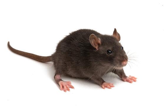 rat isolated