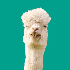 Funny alpaca llama on blue background