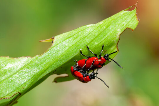 Red lily beetle (Lilioceris lilii ) insect  mating which is a garden scarlet bug pest eating leaves of certain flower plants, stock photo image