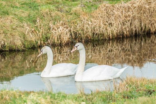 Pair of beautiful young white Mute swans, Cygnus olor, with almost white plumage and still light colored beak swimming in ditch