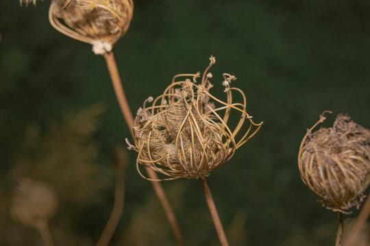 Ammi majus toothpick - israeli dry flower neture