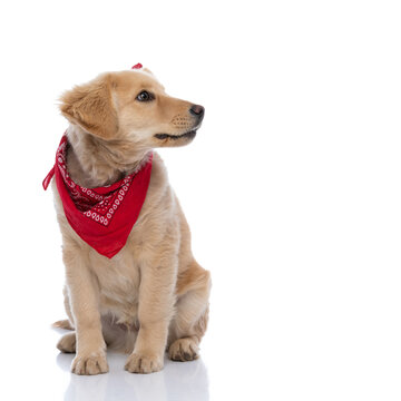 adorable labrador retriever dog wearing red bandana and looking to side