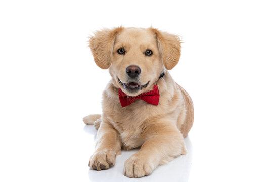 lovely golden retriever dog wearing red bowtie