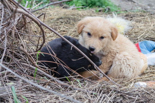 Portrait of two small, black and yellow puppies.