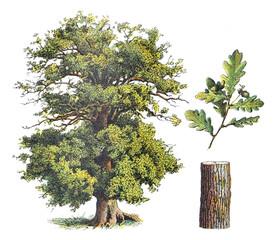 Oak - vintage illustration from Larousse du xxe siècle