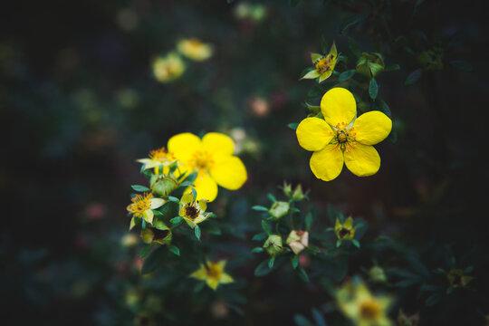 Marsh marigold flowers