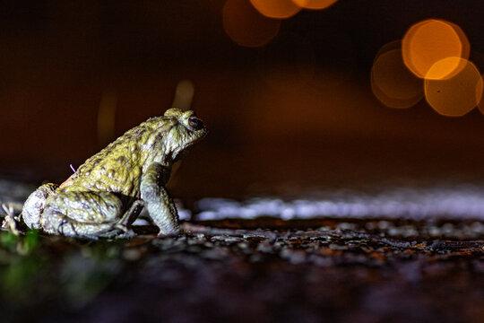 Rana temporaria,toad migration light reflection