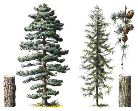 Pinus nigra subsp laricio (left) and Larix decidua (right)- vintage illustration from Larousse du xxe siècle