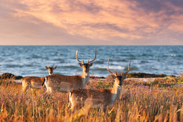 Beautiful sika dappled deers family with great horns on a meadow. Blue sea on background