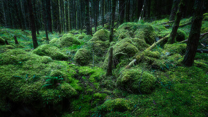 Lush and green coniferous woodland with mossy forest floor in the Scottish Highlands.Tranquil...
