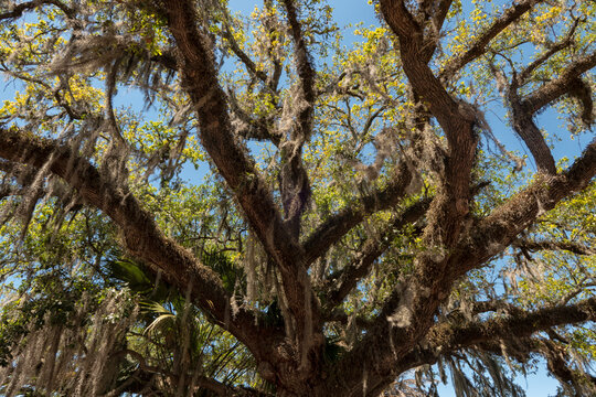 Southern live Oak tree with Spanish moss