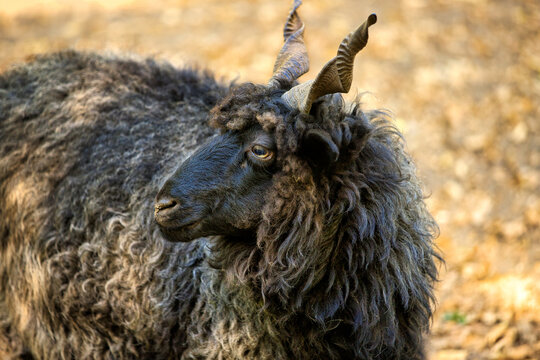 Portrait of domestic male black Racka Wallachian Sheep with unusual spiral-shaped horns
