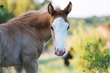 Wall Mural - Colt horse environmental portrait with blurred background shows baby animal in spring outdoors.