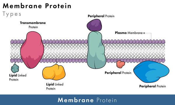 Types of Plasma membrane proteins