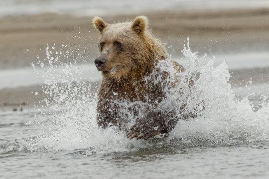 Brown bear chasing salmon, Silver Salmon Creek, Lake Clark National Park, Alaska.