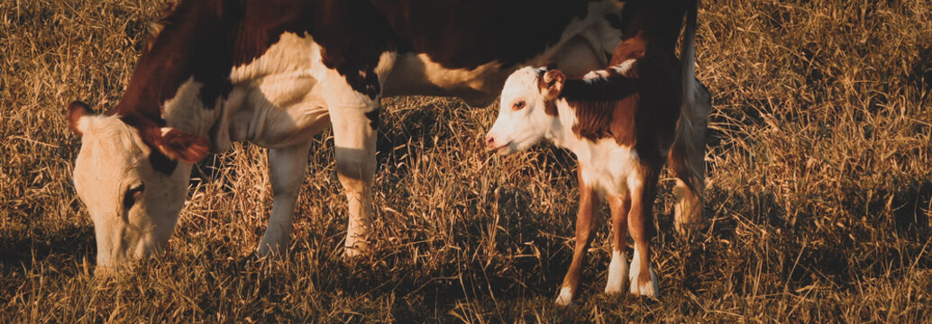 Beautiful and lovely close-up image of a mom cow and her baby calf in the field. Large banner photo of a hereford cow with her cute newborn heifer in the meadow.