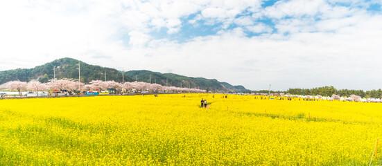 삼척 유채꽃축제 파노라마 풍경