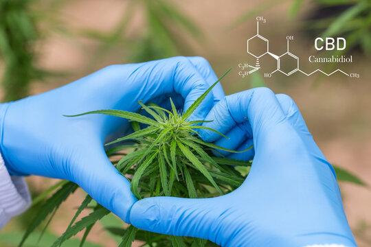 The scientist's hand held the marijuana, Concept Hemp Oil, CBD Chemical Formula, Cannabis oil, Medical herb concept. Cannabidiol or CBD molecular structural chemical formula.