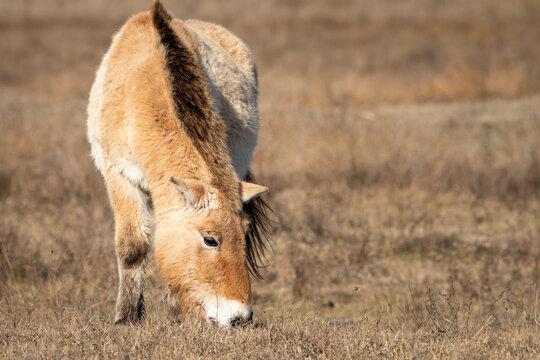 A Przewalski horse on a meadow near Neusiedler See