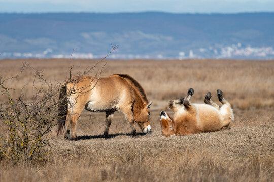 Two Przewalski horses on a meadow near Neusiedler See