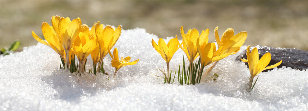 Spring flowers grow under the snow, a beautiful composition for Easter cards. Yellow crocuses in the sun rose after winter, beautiful primroses bloom on April day.