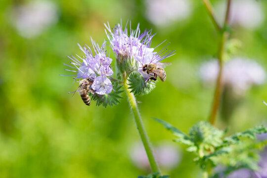 Blooming honey phacelia flowers and bees