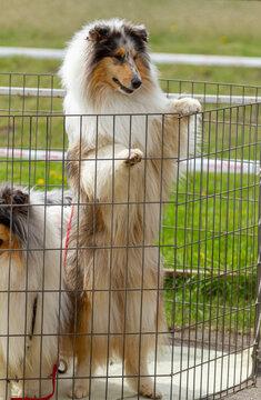 Scottish Collie dog