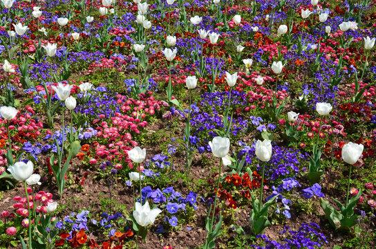 Tulpen blühen mit Hornveilchen im Park