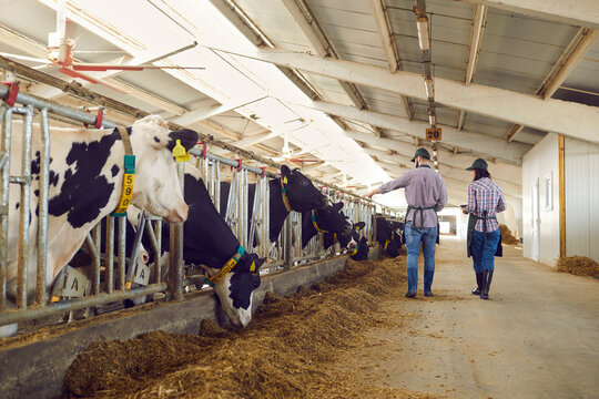 Two modern farm workers in overalls walk by a row of cows in a barn and inspect them.