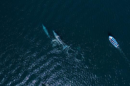 boat chasing  whales at Los Cabos