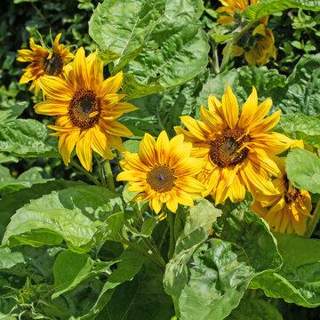 Blühende Sonnenblumen, Helianthus annuus, im Garten