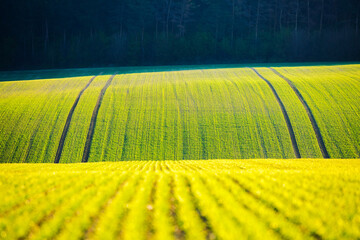 Wall Mural - Splendid view on of sunlit wavy fields of agricultural area. Location place of South Moravian region, Czech Republic.
