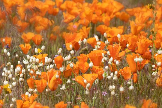 USA, California, Mojave Desert. California poppy super bloom.