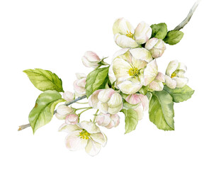 A delicate branch of an apple tree with flowers and leaves. Spring flowers. Watercolour illustration.