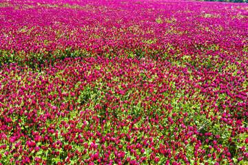 Crimson clover field background
