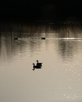 Silhouette eines Entenpaares