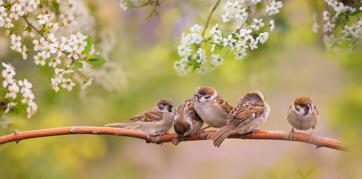 little funny chicks sparrows sit in spring sunshine on the branches of a cherry tree with white flowers
