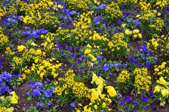 Frühlungsblumen blühen blau und gelb im Park