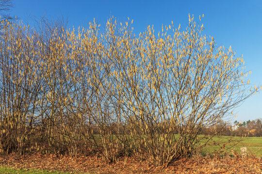 Knick (Wallhecke) mit Sträuchern der Gemeinen Hasel (Corylus avellana) vor blauem Himmel im Frühling mit Kätzchenblüten