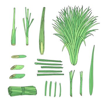 Lemongrass set with whole and cut slice citronella grass.  Hand drawn vector outline sketch illustration.