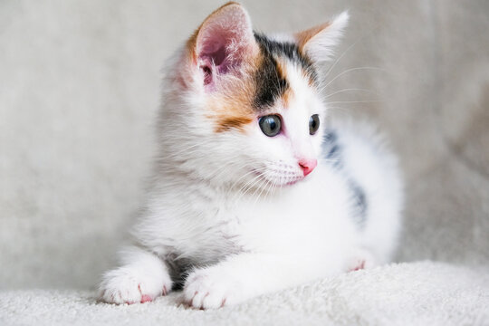 Portrait of a cute, adorable and playfully tricolor kitten on a light armchair or bed. Taking care and taking care of pets. Horizontal orientation