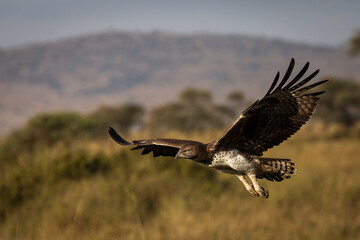 Obraz Hawk flying over savana in Serengeti National Park in Tanzania during safari with blue sky in background. Wild nature of Africa - fototapety do salonu